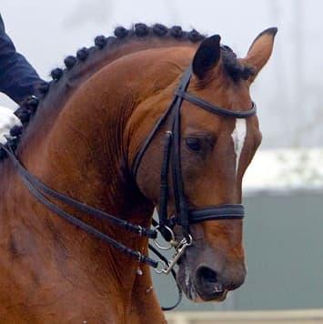 stallions cacique
