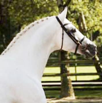 stallions calido i