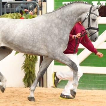 stallions calito