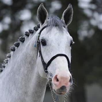 stallions cancara z