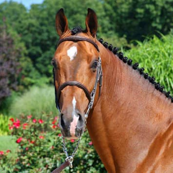 stallions dakota vdl