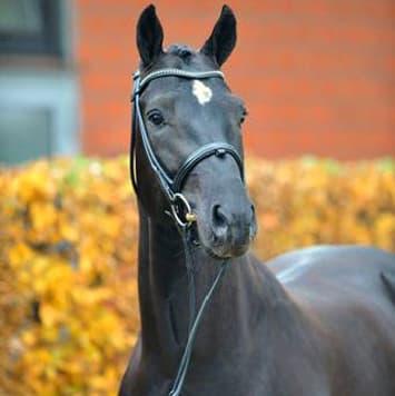 stallions dante weltino