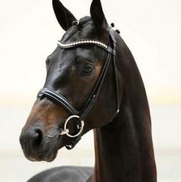 stallions grey flanell