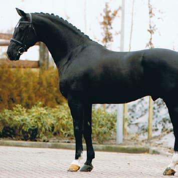 stallions negro